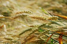 Free Wheat Royalty Free Stock Images - 14488129