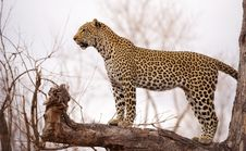 Free Leopard Standing On The Tree Stock Photography - 14489142