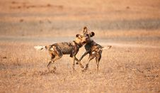 Free African Wild Dogs (Lycaon Pictus) Stock Images - 14489144