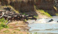 Free Herd Of Blue Wildebeest (Connochaetes Taurinus) Royalty Free Stock Images - 14489149
