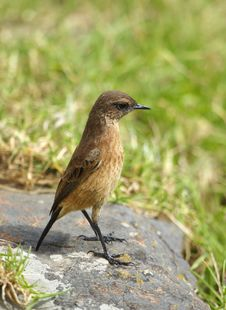 Free Small Brown Bird On A Rock Royalty Free Stock Photo - 14489165