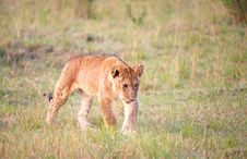 Free Lion Cub (panthera Leo) Close-up Stock Photo - 14489170