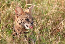 African Serval (Leptailurus Serval) Royalty Free Stock Photography