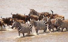 Free Herd Of Zebras (African Equids) Royalty Free Stock Photo - 14489245