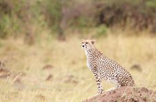 Free Cheetah (Acinonyx Jubatus) Sitting In Savannah Royalty Free Stock Images - 14489249