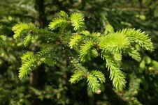 Free Evergreen Branches And  Pins Stock Photos - 14489313