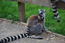 Free Lemur With Baby Stock Photo - 14489490