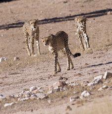 Free Cheetahs Stock Photo - 14489850