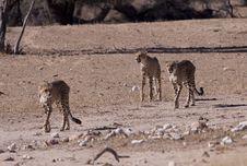 Free Cheetahs Royalty Free Stock Photography - 14489867