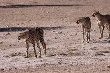 Free Cheetahs Stock Photo - 14489880