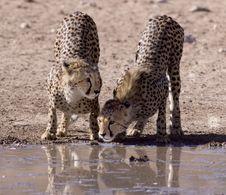 Free Cheetahs Stock Photography - 14489912