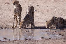 Free Cheetahs Stock Image - 14489931