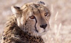 Free Cheetah Stock Images - 14489944