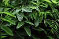 Free Spring Leaves With Raindrops Stock Images - 14490954