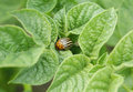 Free Colorado Potato Beetle On Potato Leaves Stock Photos - 14491493