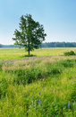 Free Lonely Tree In The Meadow Royalty Free Stock Photo - 14493735