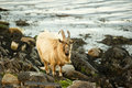 Free Wild Goats Royalty Free Stock Images - 14494549