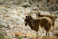 Free Wild Goats Royalty Free Stock Images - 14494559