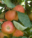 Free Apples On The Tree Royalty Free Stock Photos - 14497888