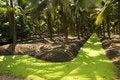 Free Coconut Garden Royalty Free Stock Photos - 14499358