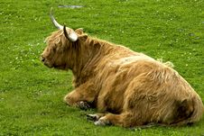 Free Highland Cattle Stock Images - 14490644