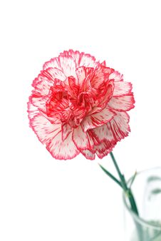 Free Single Carnation Royalty Free Stock Images - 14490649