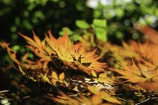 Free Backlit Spring Maple Leaves Royalty Free Stock Photo - 14490935