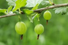 Free A Branch Of Gooseberries With Berries Stock Image - 14491501