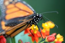 Free Monarch Butterfly Royalty Free Stock Photo - 14491645