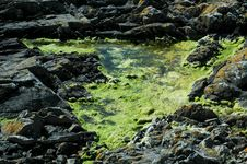 Free Seaweed In A Puddle Royalty Free Stock Images - 14491939