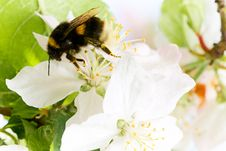 Free Bumblebee On A Flower Stock Photos - 14491983
