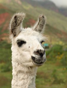 Free Smiling Llama From Argentina Stock Image - 14493861