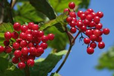Free Ripe Red Berries Stock Photos - 14494183