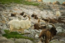 Free Wild Goats Royalty Free Stock Photography - 14494537