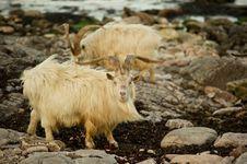 Free Wild Goats Royalty Free Stock Photos - 14494578