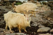 Free Wild Goats Stock Images - 14494594