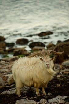 Free Wild Goats Royalty Free Stock Photography - 14494607