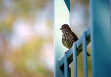Free Red-Winged Blackbird Royalty Free Stock Photos - 14494698