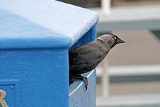Free Jackdraw, Corvus Monedula In England Royalty Free Stock Photos - 14494718