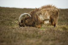 Free Wild Goats Stock Image - 14494821