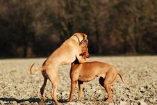 Free Dogs Play Fighting Stock Photos - 14494853
