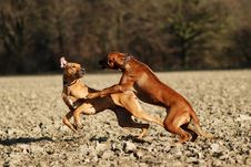 Dogs Play Fighting Stock Photo