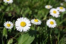 Free Wonderful Daisy Royalty Free Stock Images - 14495089
