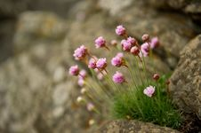 Sea Pinks Royalty Free Stock Photography