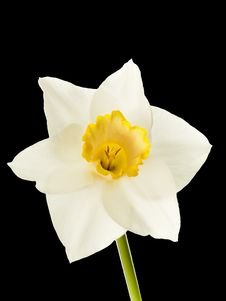 Free Daffodil Isolated On Black Background Stock Photos - 14495423