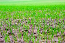 Free Field Of Growing Crops Stock Image - 14495641