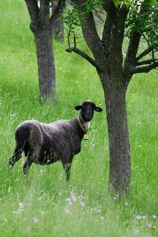 Free Sheep Royalty Free Stock Photos - 14495738