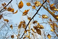Free Golden Leaves At The Tree Royalty Free Stock Photos - 14496688