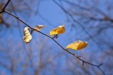 Free Golden Leaves At The Tree Stock Image - 14496761
