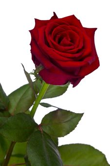 Free Rose Stock Photo - 14497190